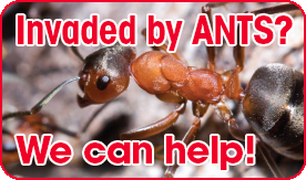 Invaded By Ants