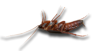 Cockroach Control Mandurah Baldivis Rockingham