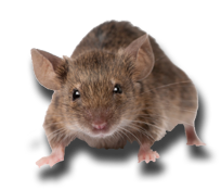 Mice and Rat Treatment Mandurah Baldivis Rockingham